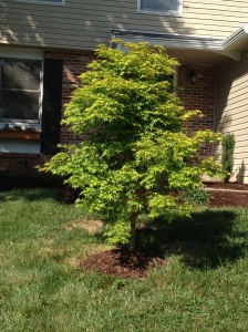 A little bump of mulch for our Japanese Maple